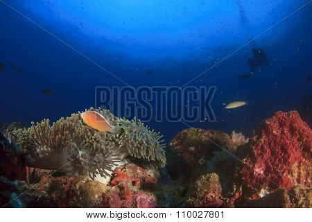 Scuba diver swims over coral reef with clownfish and anemone