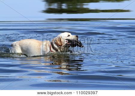 A Nice Yellow Hunting Labrador Retrieving