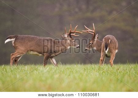 Two White-tailed Deer Bucks Grooming