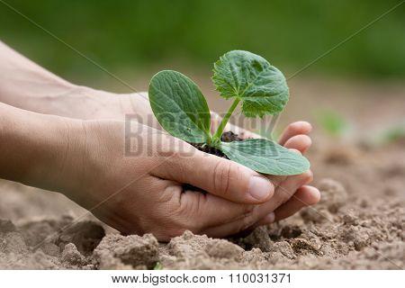 Hands Holding Seedling With Fertile Soil