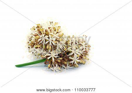 White Dracaena Fragrans Flower
