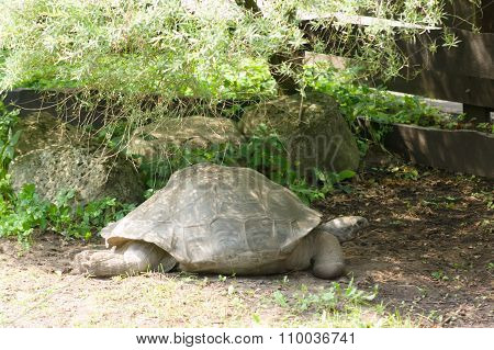 The Large Turtle