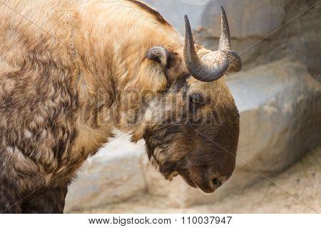 Takin Also Known As The Gnu Goat. Wildlife Animal.