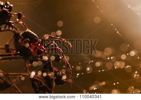 spider in the web with dew drops