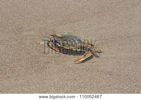 Blue Crab, Callinectes Sapidus In Sand Photo
