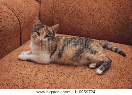 Young Brindle Cat Lying On The Sofa. Pets