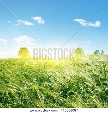 Green wheat field, blue sky and sun.
