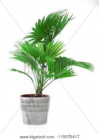 Palm tree (Livistona Rotundifolia) in flowerpot, isolated on white