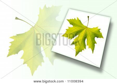 Gold One Maple Leaf Isolated