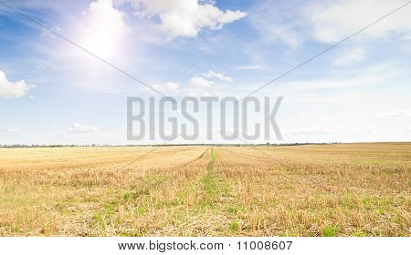 Yellow Field Of Wheat Cuted Under Midday Sun In Blue Sky.