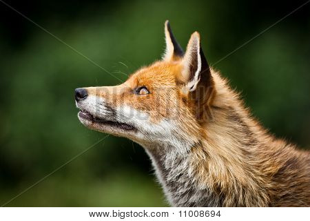 Healthy Red Fox Profile