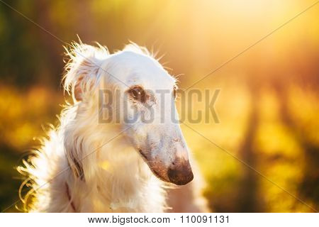 White Russian Hunting Dog, Sighthound, Russkaya Psovaya Borzaya,