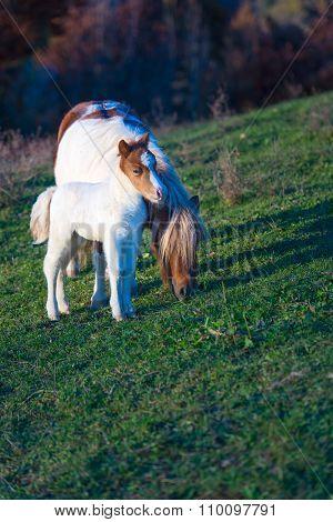 Wild Dartmoor Pony, Mother And Foal
