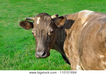 Grazing Cattle In A Pasture With A Young Green Grass
