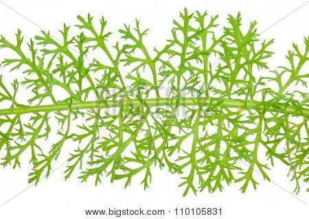 Leaf yarrow