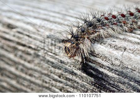 Gypsy Moth Caterpillar, Crawling On A Wooden Board