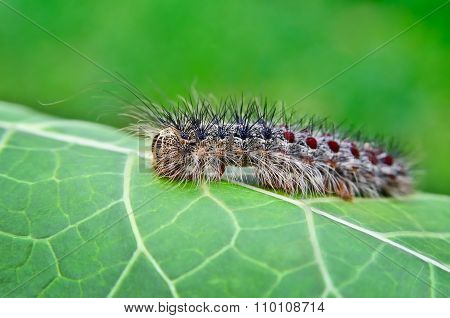 Gypsy Moth Caterpillar, Crawling On Young Leaves