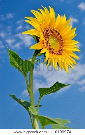 Ripe, Young Sunflower Blooming Against The Blue Sky