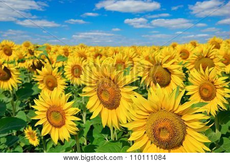 Young Sunflowers Bloom In Field Against A Blue Sky