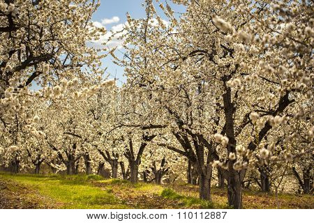 Cherry Trees In The Spring