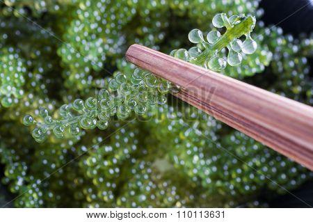 Seaweed Healthy Food Oval sea grapes seaweed