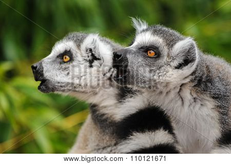 Lemurs Katta (Lemur Catta) Calling Others Group Members