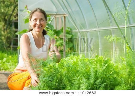 Woman Is Picking Dill