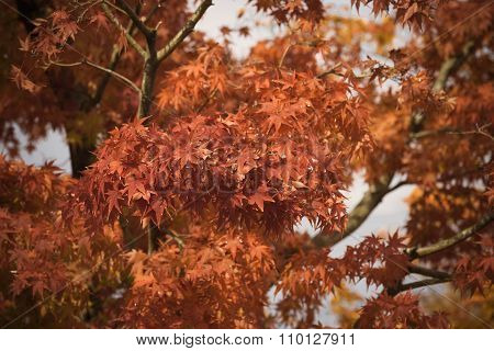 Red Maple Leaves Branch Closeup In Autumn