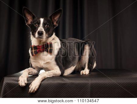 Studio portrait of black and white dog