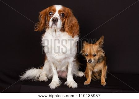 Two Purebred Cavalier King Charles Spaniel Dogs And Chihuahua,