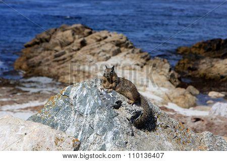 Ground squirrel at 17 Mile Drive, Pebble Beach, California