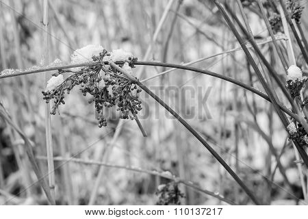 Old Dry Grass Against White Snow