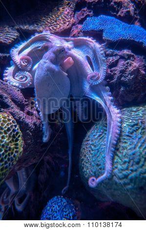 Octopus in blue light
