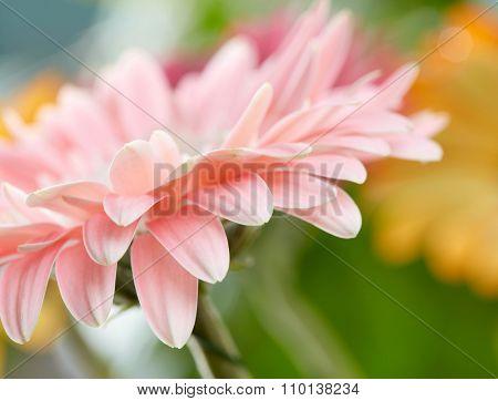 Pink daisy gerbera flower background