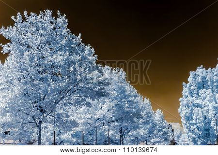 Beautiful Tree In Infrared View, Nonreal Colors, Sunny Day