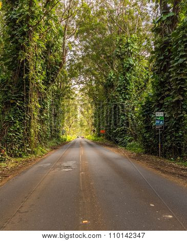 Famous Tree Tunnel Of Eucalyptus Trees