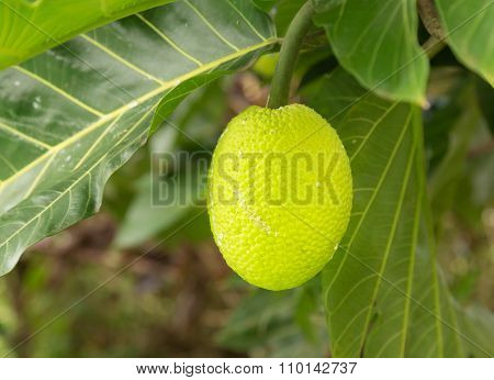 Breadfruit Tree Growing In Plantation In Kauai