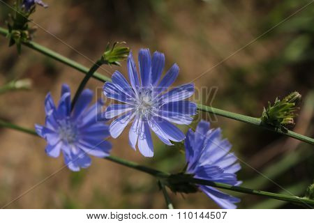 Chicory Flowers In The Grass