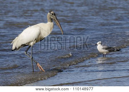 Wood Stork Wading In Shallow Water - Georgia