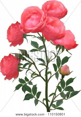 illustration with pink roses isolated on white background