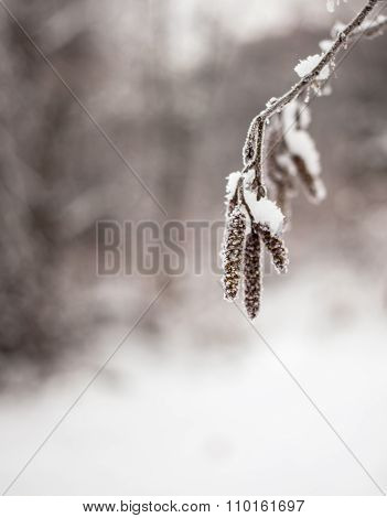 Snow-covered Branches Of Alder With Catkins