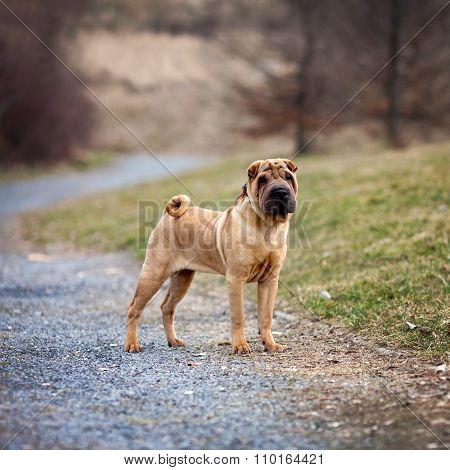 Young Shar Pei Dog In The Park