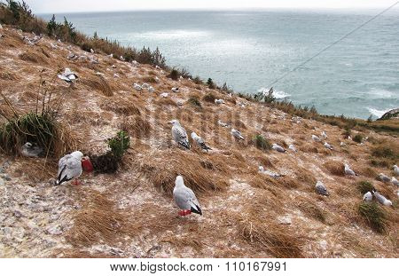 Cliffside Seagull Nesting Ground