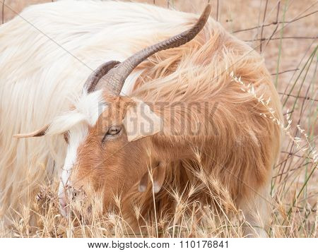 Goat Disheveled In Campaign