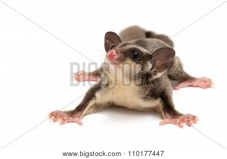A Close Up Of A Sugar Glider Looking Photographer