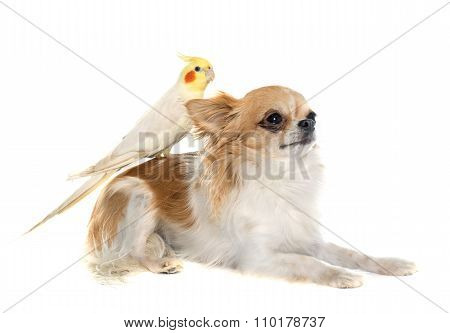 Chihuahua And Cockatiel