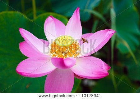 Bee on a Lotus.