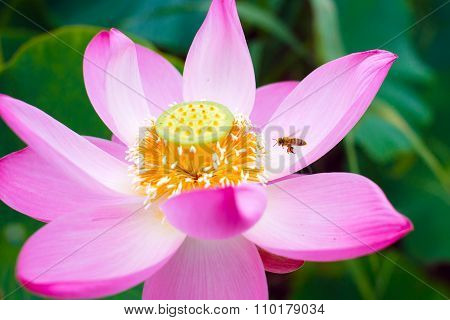 Bee on a Lotus flower.