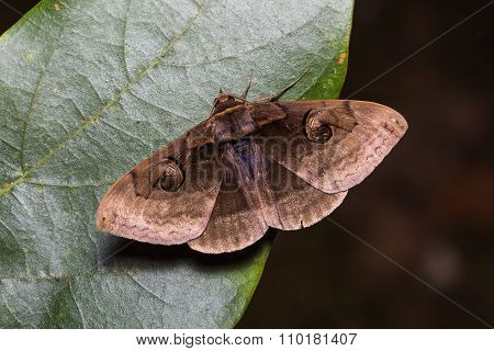 Indian Owlet-moth On Green Leaf