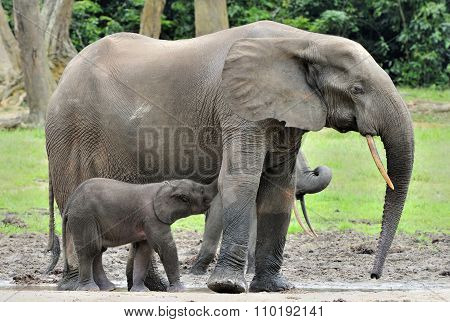 The Elephant Calf Is Fed With Milk Of An Elephant Cow The African Forest Elephant, Loxodonta African